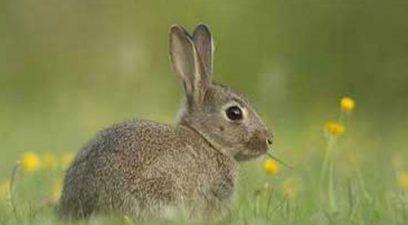 Rabbit control on a cricket pitch