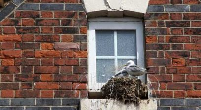Seagulls Nesting on a building.