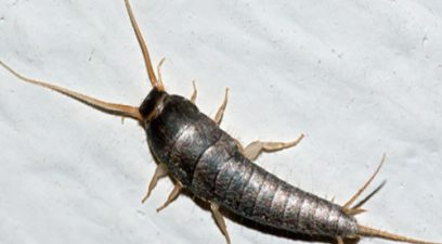 Silverfish in the kitchen or bathroom