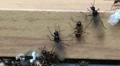 Ants | Ant removal in Maidstone