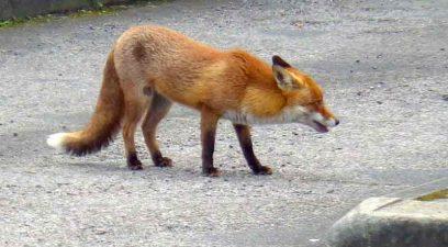 Fox   fox removal