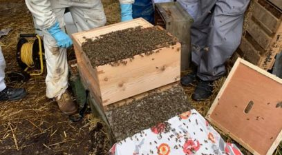 Honey bees in crate | Bee swarm removal Kent