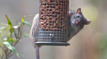 Rat on the bird feeder
