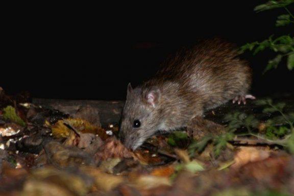 Brown rat close up | Pest Infestation Kent