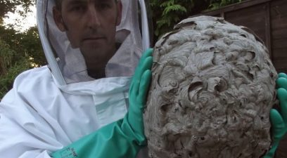 Wasp nest removed from a loft..