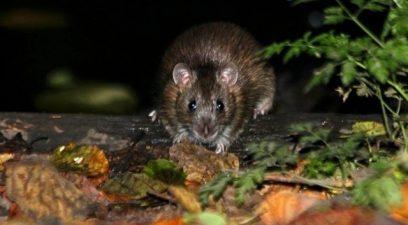 rat in the garden | Rat control