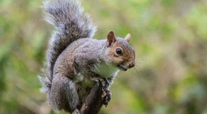 Squirrel on a branch, wildlife management.