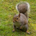 Squirrel | Pest Control Maidstone