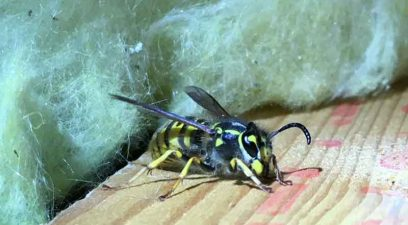 Wasp | Wasp nest removal in Maidstone