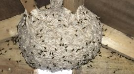 Wasp nest in attic space | Wasp nest removal in Maidstone