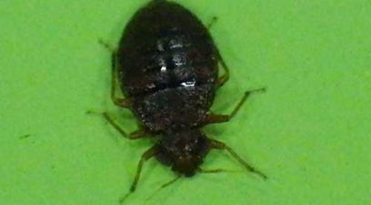 Bed Bug treatment   Bed bug after a feed of blood.