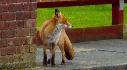 Fox Control in an Urban environment