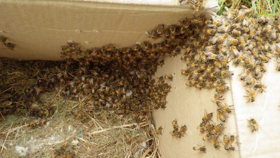 Pest Control Sevenoaks removing Honey bees