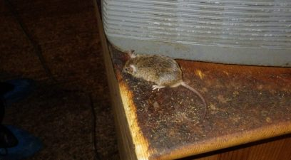 Mouse found in the loft, mouse removal treatment needed.