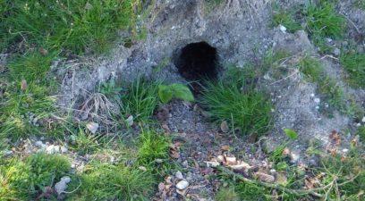 Rabbit control in Maidstone