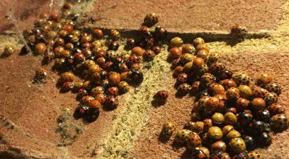 ladybird removal treatment in progress