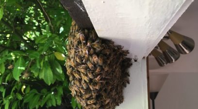 Bee Swarm | Bee removal in Maidstone