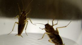 Cockroach Treatment   German cockroach infestation