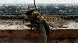 Fly Control to deal with the cluster fly   Pest-Tech