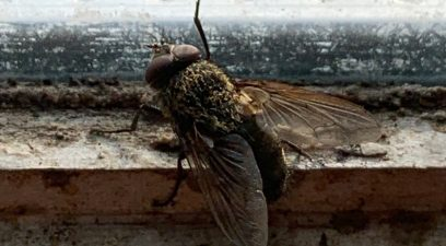 Fly Control to deal with the cluster fly | Pest-Tech