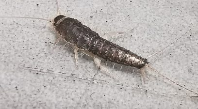 Silverfish Treatment Removal