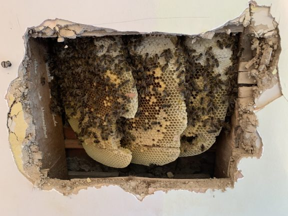 Honey Bees in the wall