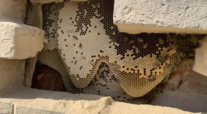 Honey bee removal from a wall