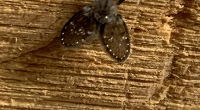 Drain Fly caused by damp